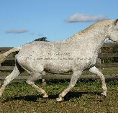 Morgada (MAC)/Interagro Lusitanos
