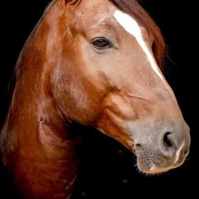 Divisadero Interagro, chestnut Lusitano stallion