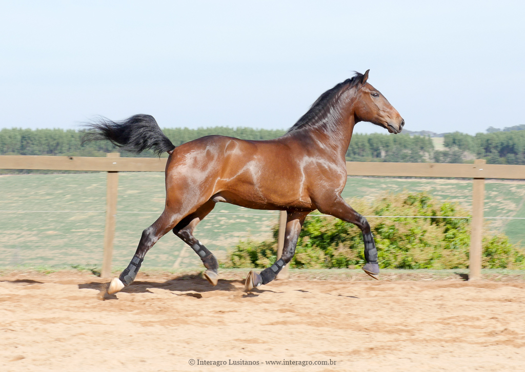 Ímpio Interagro, bay Lusitano gelding for sale. Photo: IInteragro Lusitanos