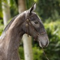 Naive Interagro/TUPA - Lusitano filly for sale at 17th Interagro Yearlings Auction