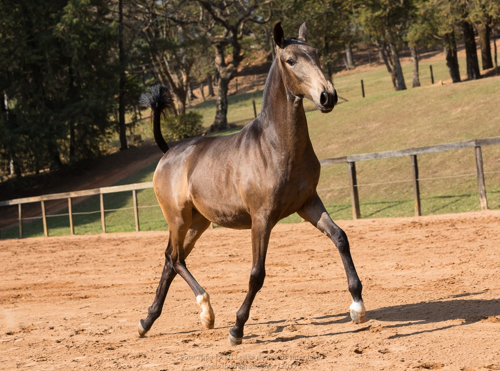 Nobreza Interagro - buckskin Lusitano filly for sale at 17th Interagro Yearlings Auction/TUPA