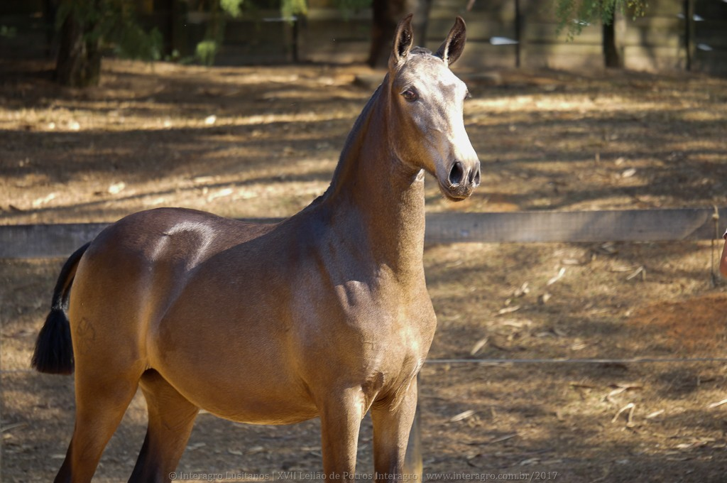 Nobreza Interagro - buckskin Lusitano filly for sale at 17th Interagro Yearlings Auction/Interagro Lusitanos