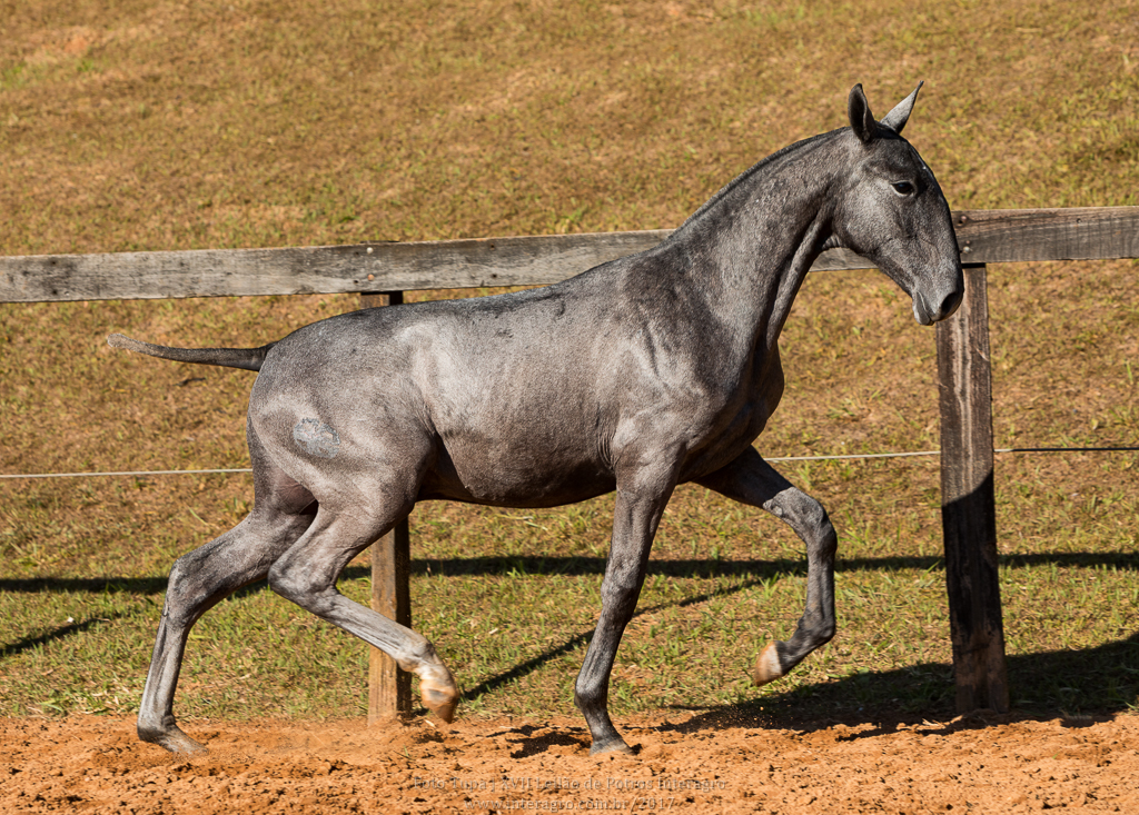 Nuanceiro Interagro - Lusitano foal for sale at 17th Interagro Yearlings Auction/Photo: TUPA