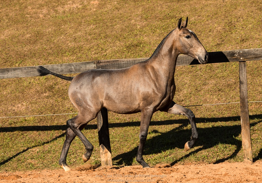 Nurse Interagro - Lusitano filly for sale at 17th Interagro Yearlings Auction/Photo TUPA