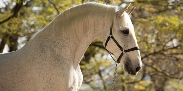 Interagro's Famous Stud Perdigueiro (MAC) Coverboy for HORSE
