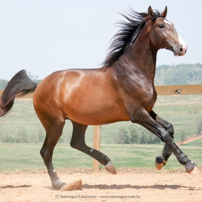 Luca Interagro, 17hh bay Lusitano stallion