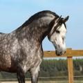 Lord Interagro, grey Lusitano stallion