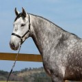 Mágico Interagro, grey Lusitano gelding for sale/TUPA