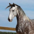 Mileto Interagro, grey Lusitano for sale/TUPA