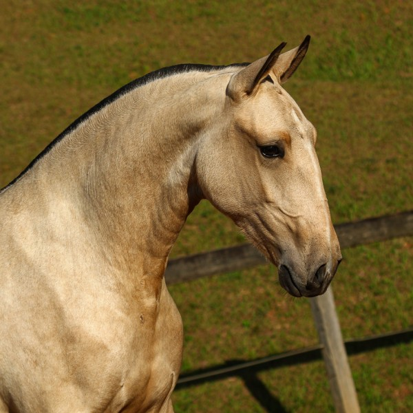 Oblata Interagro, buckskin Lusitano filly for sale at 18th Interagro Yearlings Auction (August 31st, 2019)