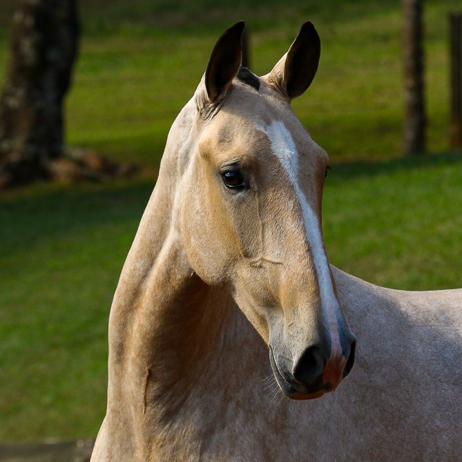 Organa Interagro, buckskin Lusitano filly for sale at the 18th Interagro Yearlings Auction (August 31st, 2019)