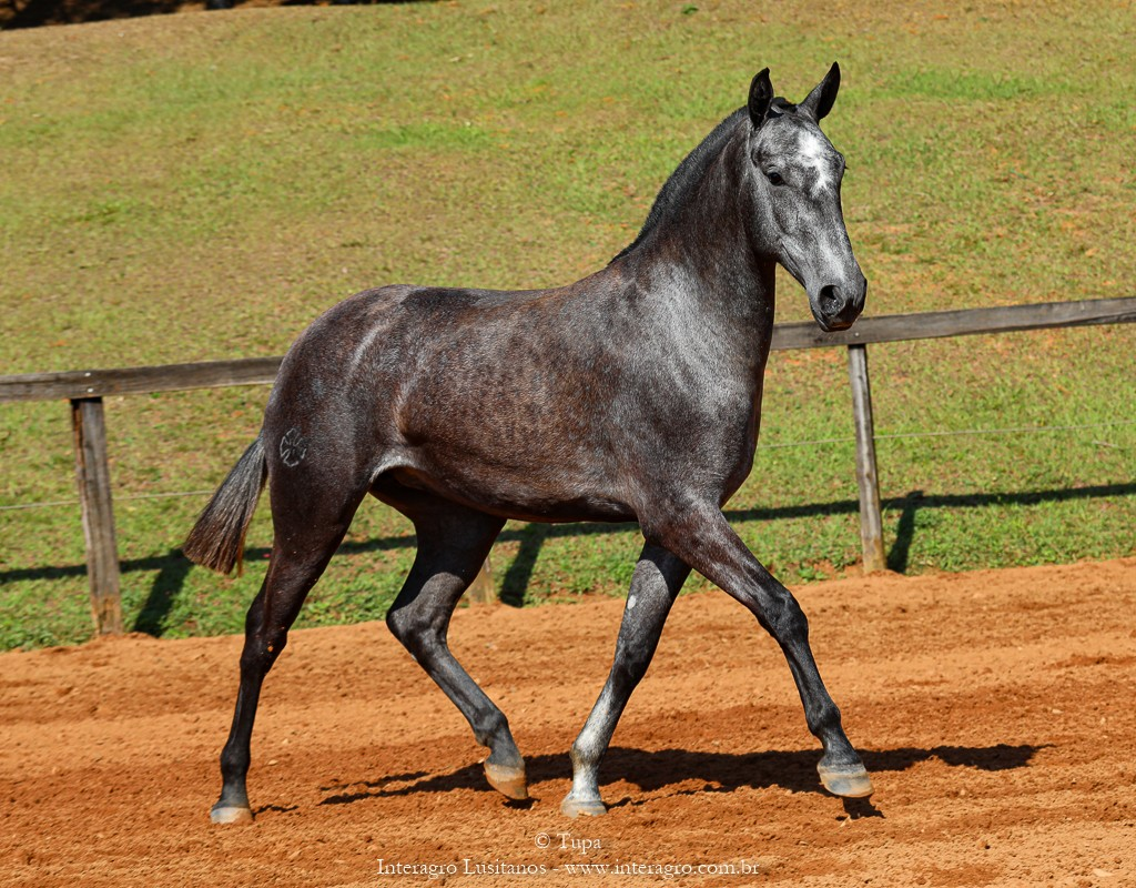 Opípara Interagro, grey lusitano filly for sale at the 18th Interagro Yearlings Auction (August 31st, 2019)
