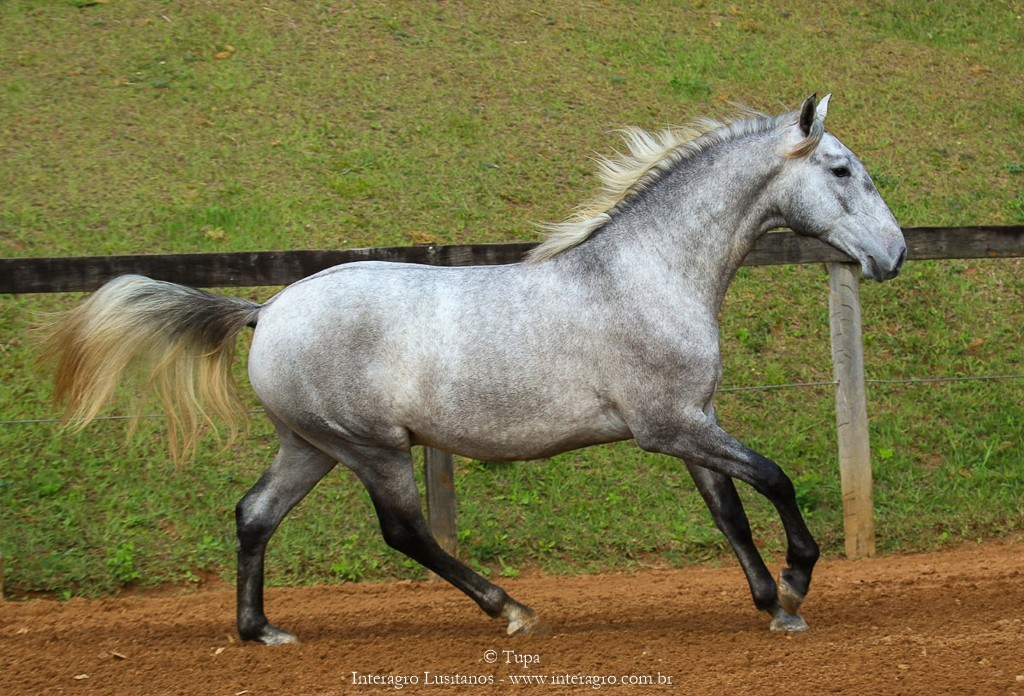 Opus Interagro, grey Lusitano colt for sale at the 18th Interagro Yearlings Auction (Aug 31,2019)