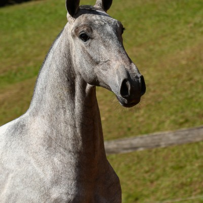 Persona Interagro, Lusitano grey filly for sale at the 18th Interagro Yearlings Auction (August 31st, 2019)/Interagro Lusitanos
