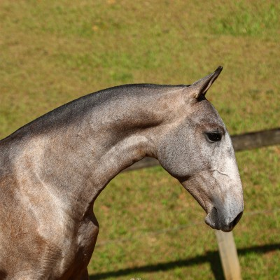 Polemon Interagro, grey Lusitano foal for sale at the 18th Interagro Yearlings Auction (August 31, 2019)