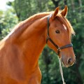 Ovídio Interagro, chestnut Lusitano gelding for sale. Photo: TUPA