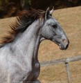 Remus Interagro, grey Purebred Lusitano colt for sale at The 2021 Interagro Yearlings Collection/Photo: TUPA