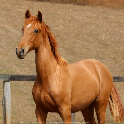 Requinte Interagro, chestnut Purebred Lusitano foal sold at The 2021 Interagro Yearlings Collection/TUPA