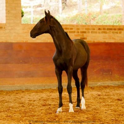 Retriever Interagro, black Purebred Lusitano foal sold at The 2021 Interagro Yearlings Collection/Interagro Lusitanos