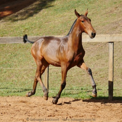 Revista Interagro, bay Purebred Lusitano filly for sale at The 2021 Interagro Yearlings Collection