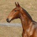 Revista Interagro, bay Purebred Lusitano filly for sale at The 2021 Interagro Yearlings Collection/TUPA