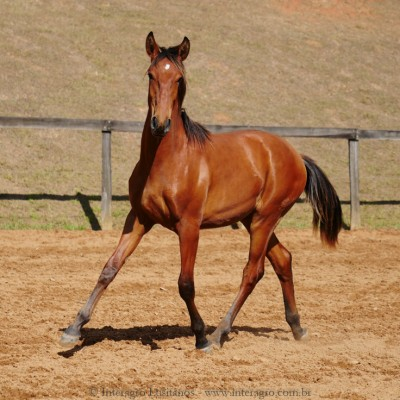Rimbaud Interagro, bay Purebred Lusitano foal for sale at The 2021 Interagro Yearlings Collection