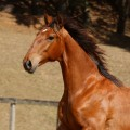 Rimbaud Interagro, bay Purebred Lusitano foal for sale at The 2021 Interagro Yearlings Collection/Photo: TUPA