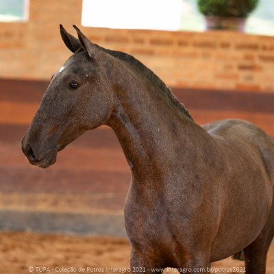 Quilha Interagro, Purebred Lusitano filly sold at The 2021 Interagro Yearlings Collection/TUPA