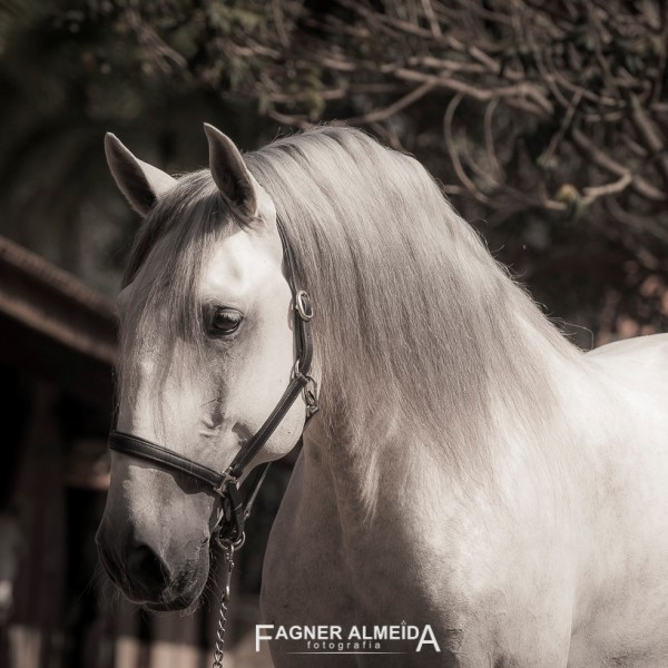 Hanibal Interagro, grey Lusitano stallion. Photo: Fagner Almeida