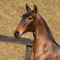 Noiteiro Interagro - bay Lusitano yearling for sale at 17th Interagro Yearlings Auction/TUPA