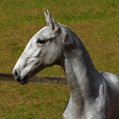 Prímula Interagro, grey Lusitano filly for sale at the 18th Interagro Yearlings Auction (August 31, 2019)