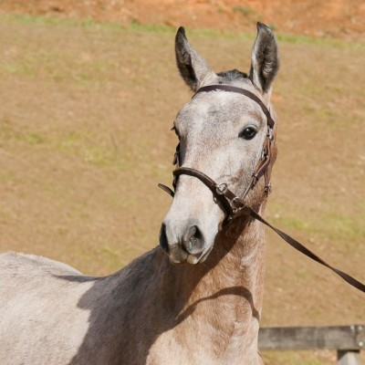 Píndaro Interagro, grey Lusitano foal for sale at the 18th Interagro Yearlings Auction (August 31st, 2019)